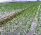 优良太空大蒜种子培育基地