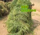 孝义市哪里有卖黑麦草种子的多少钱一斤