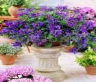 【香草种子】阳台花卉种子香青兰山薄荷花种子芳香制作香囊香草种子20粒