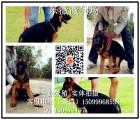 广州德国牧羊犬价格  纯种黑背警犬幼犬价格