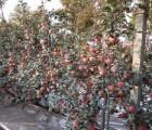 m9t337―矮化苹果苗木―  嘉皓苗木基地