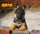 家养纯种黑背德国牧羊犬幼崽出售 弓背,黑背,大骨量