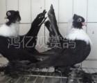 观赏鸽养殖市场行情资讯-辽宁观赏鸽子