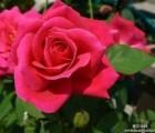 玫瑰花提取物