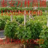 红芭拉蒂葡萄苗哪里有;红芭拉蒂葡萄苗价格,红提葡萄苗价格