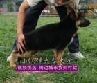 广州哪里有卖德国牧羊犬 纯种弓背黑背德牧一只多少钱