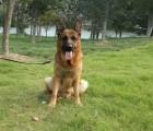 低价销售德牧犬纯种德国黑背锤系德牧幼犬山东诚信名犬基地