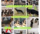 德国牧羊犬图片 德国牧羊犬价格 黑背小德牧