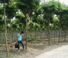米径9,10,12,13公分黄花梨树苗,地苗,修冠半年,