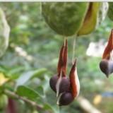 沉香种植基地供应新鲜采摘的沉香种子试种育种 一手货源