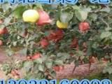 雪花梨树苗品种   雪花梨树苗报价