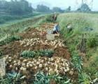 龙牙百合种球 龙牙百合种子 百合种子 湖南龙牙百合 鲜百合