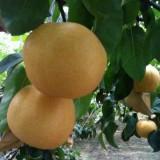 1公分优质梨树苗哪里有卖 梨树苗批发 矮化梨树苗出售