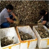 韶关生蚝批发价格_湛江那里有好吃的生蚝