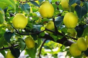 梨树、长青苗木、1.5米海南黄花梨树苗