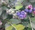 大量供应北陆蓝莓苗 半高丛蓝莓苗供应 价格合理