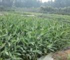 田园情花卉专业供应水生美人蕉,畅销的再力花
