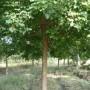 黑龙江哈尔滨江北针叶树种樟子松