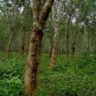 黑龙江哈尔滨江北圃地乔木糖槭
