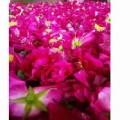 甘肃苦水玫瑰_具有口碑的苦水玫瑰精油品牌