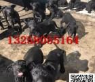 小黑背牧羊犬幼崽好喂养吗哪里有卖纯种黑背牧羊犬的