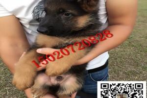 纯种德国牧羊犬图片价格 哪里有纯种德国牧羊犬幼犬出售