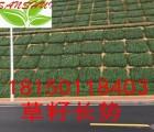 云南思茅景谷县植被护坡绿化防水土流失草籽狗牙根白三叶木豆刺槐
