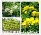 贵州黔东南毕节铜仁道路护坡公路护坡护堤速生草种--车桑子木豆