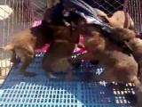 三四个月德国牧羊犬价格怎么卖 小德国牧羊犬多少钱一只