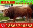 肉牛犊哪里有卖的 黄山区小牛多少钱一头
