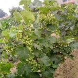 晚熟红提葡萄苗多少钱一棵 红提葡萄苗价格哪里便宜