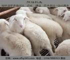 辉煌牧业(图),湖羊养殖哪家好,甘肃湖羊养殖