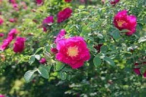 要买优惠的玫瑰花苗,盛典玫瑰是不二选择|甘南玫瑰花苗