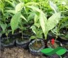 海南黄花梨苗木有药用价值吗?