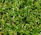 大量出售山东小叶黄杨――泰安小叶黄杨