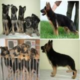 深圳哪里有卖德国牧羊犬 广东传世犬舍出售德国牧羊幼犬