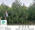 蓝田白皮松苗木销售公司 蓝田4米一级白皮松苗木销售