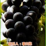 葡萄苗 爱博欣农业 红提葡萄种苗价格