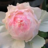 佩尔朱克月季花苗 切花玫瑰花苗 大花月季盆栽 淡粉色带淡绿色