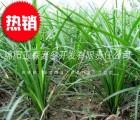 四川三台麦冬基地,批发小叶绿化麦冬草
