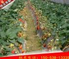森加森加拉草莓苗价格