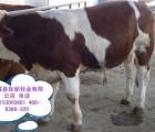 改良鲁西黄牛肉牛苗市场价格