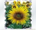 出售彩色原装 香草种子 花卉种子【玩具南瓜种子】