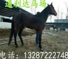 河南旅游景区专用迷你德宝矮马 生态公园骑乘大马