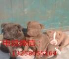 小比特斗狗价格怎么卖 哪里有两三个月比特斗狗出售