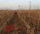 佳红大樱桃树苗 佳红大樱桃树苗新品种 山东佳红大樱桃树苗基地