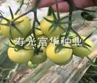 进口白色番茄种子