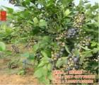 蓝莓苗木销售,孝感蓝莓苗木,湖北蓝莓苗木批发(在线咨询)