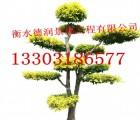造型树苗木/造型金叶榆/造型景观树/城市园林绿化树木