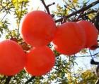 陕西临潼火晶柿子 皮薄无核 新鲜水果 产地直供  6斤包邮